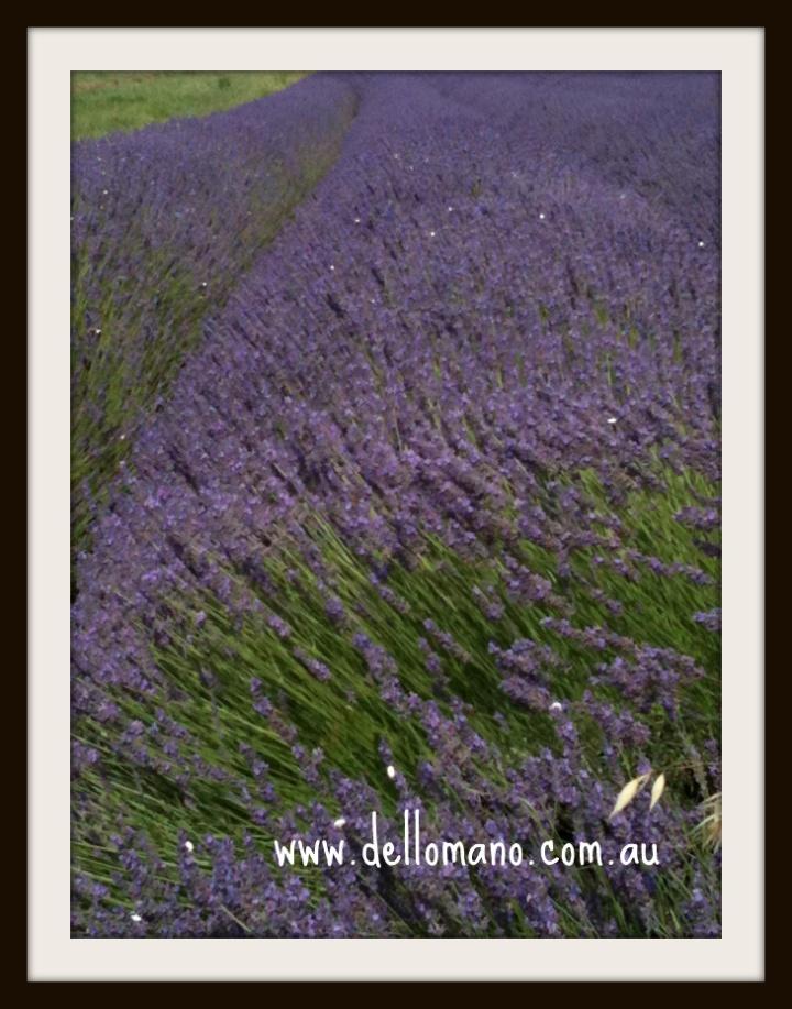lavendene in South of France