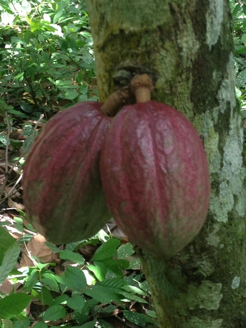 PINK COCOA PODS GHANA (2)